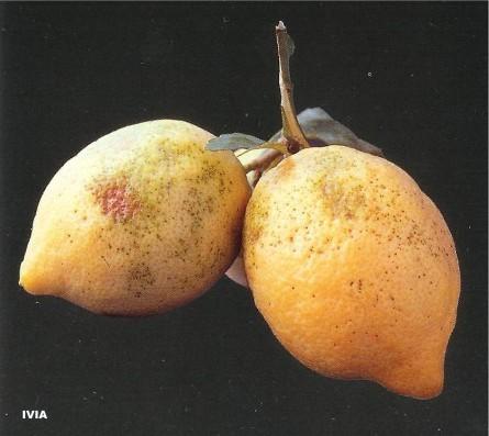 ácaro rojo - Panonichus citri - araña roja - Tetranychus urticae