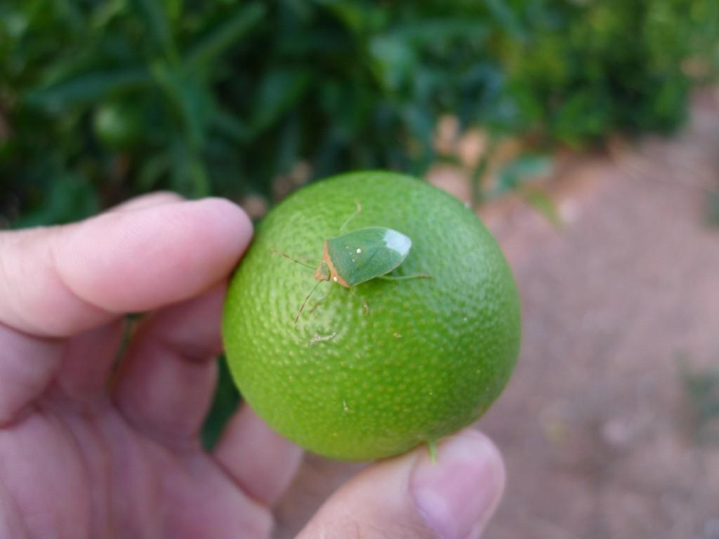 Chinche verde - Nezara viridula