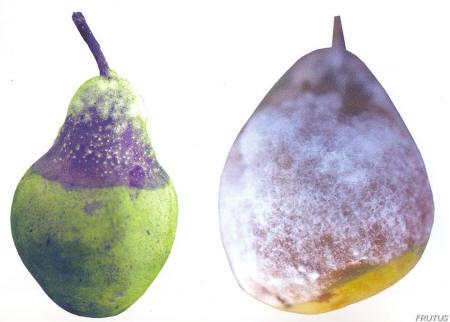 Botrytis cinerea en Manzana