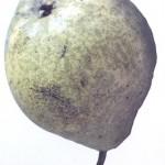 Gloeodes pomigena