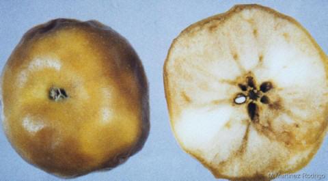 Escaldado senescencia Manzana
