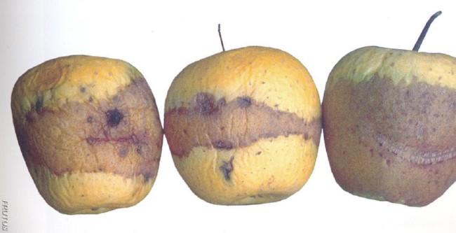Daños por frio manzana pera