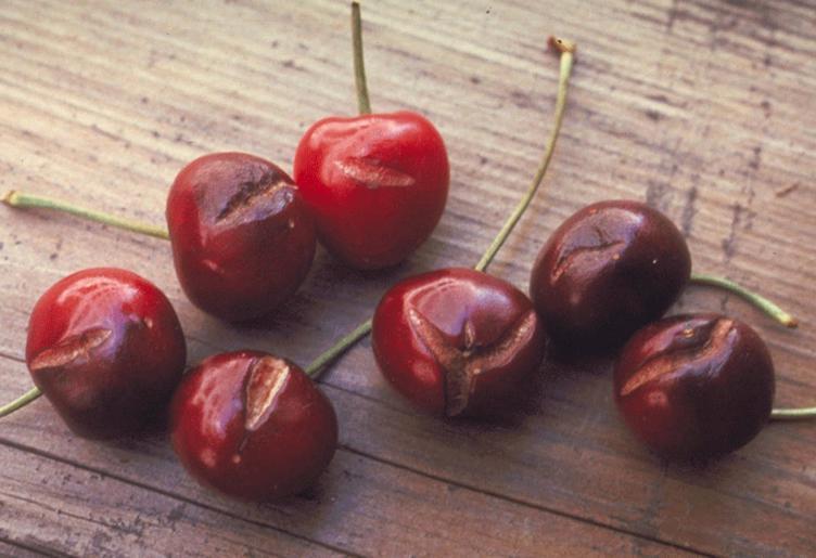 Resultado de imagen para partidura cerezas