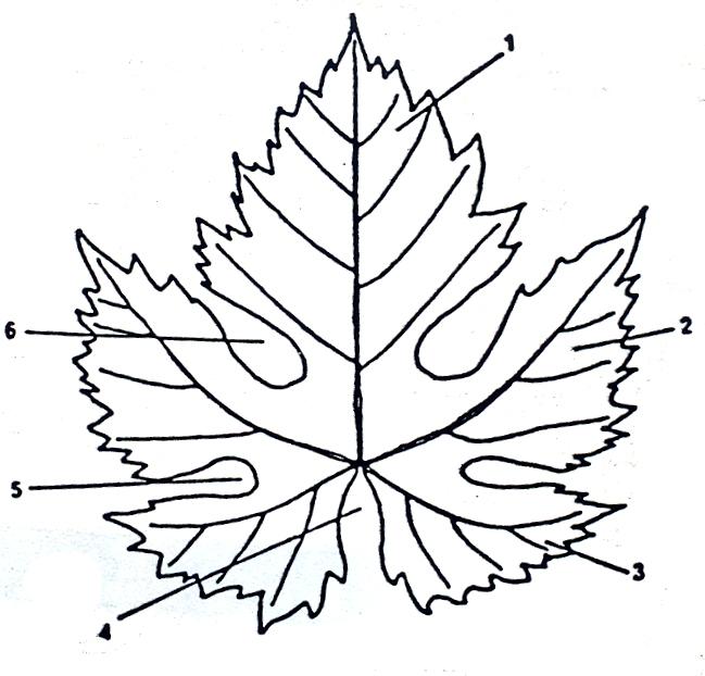 Caracteres de las hojas de las variedades de vid