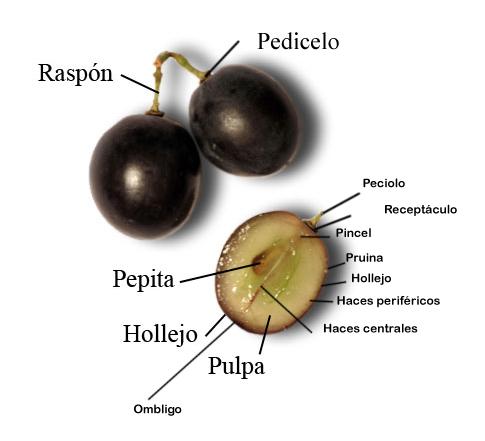 Partes de la uva