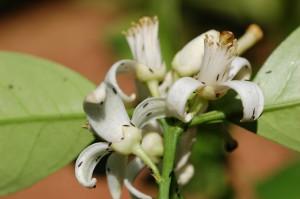 Flores con presencia de Pezothrips kellyanus en Citricos