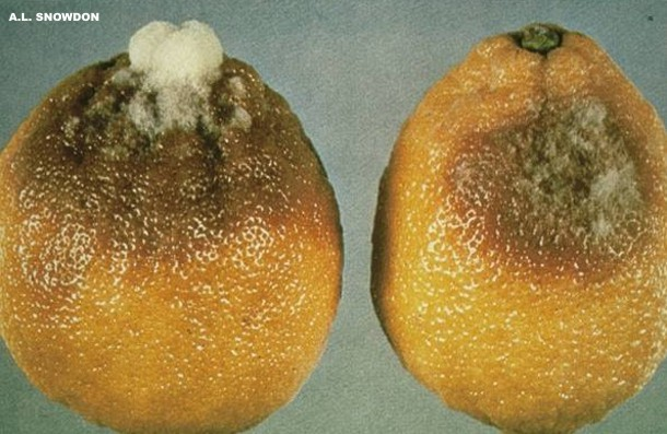 Botrytis cinerea