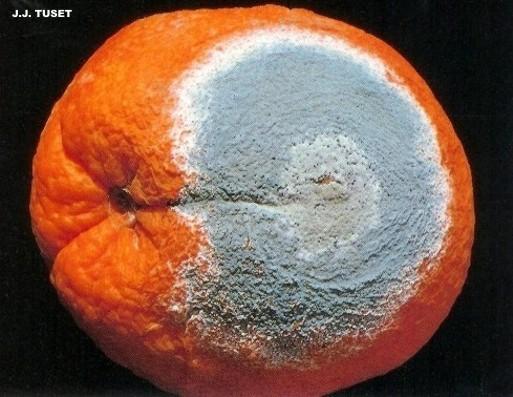 Penicillium en citricos