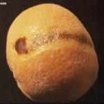 Rhizopus en citricos