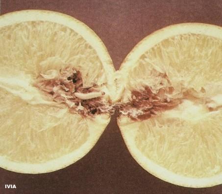 Barreneta en citricos - Ectomyelois ceratoniae