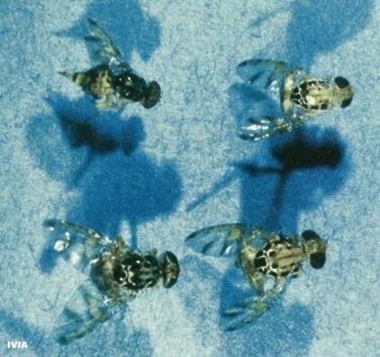 Drosophila melanogaster, Mosca de la fruta o del mediterraneo en citricos