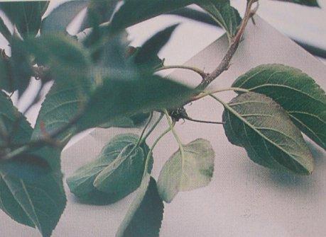 Carencia de fosforo en manzano