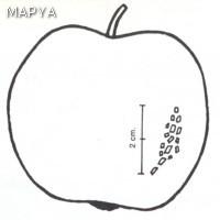 Manzana defectos en la epidermis 01