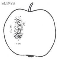 Manzana defectos en la epidermis 04