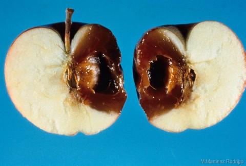 Phomopsis mali
