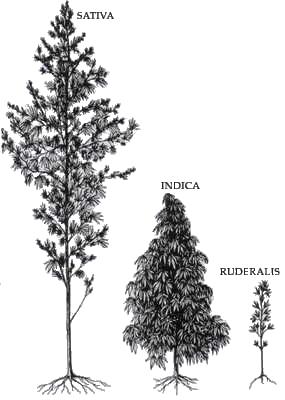 Variedades Cannabis