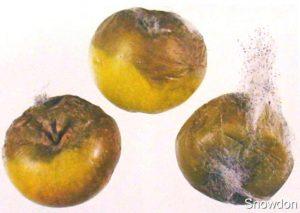Rhizopus - Esporangios y zigospora de Rhizopus.