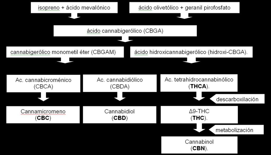 Biosintesis de cannabis sativa