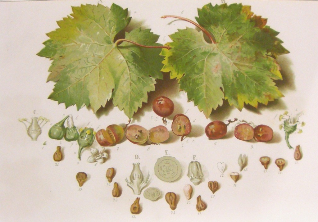 Vid Organografia de la uva leonada
